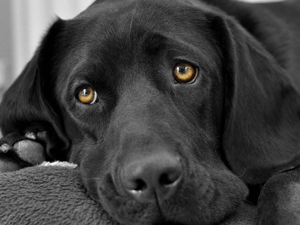 dog-muzzle-eyes-sorrow-black-1024x768s